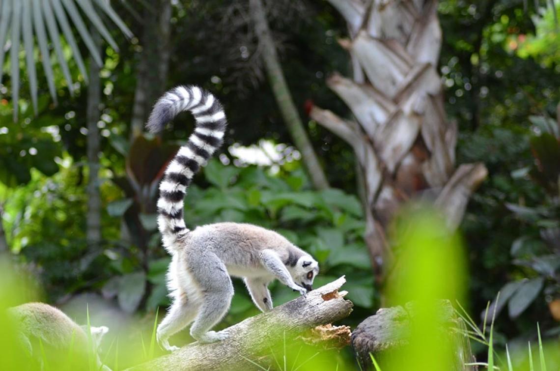 okolica_lemur